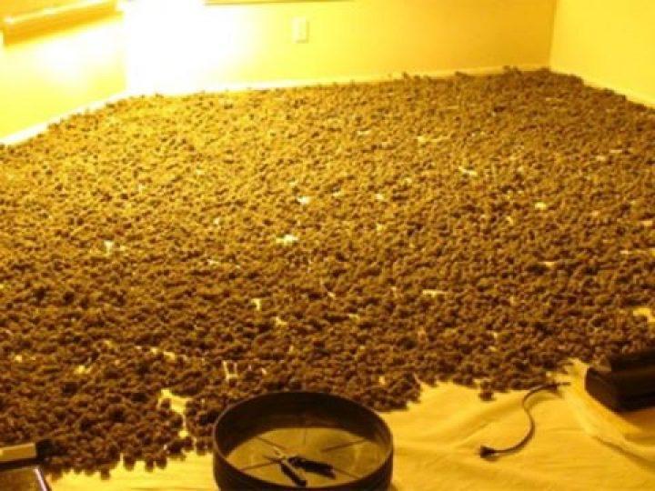 cannagrower:Bud room! #mmj #w420 #420 #710 #cannabis #marijuana #mmjgirl…